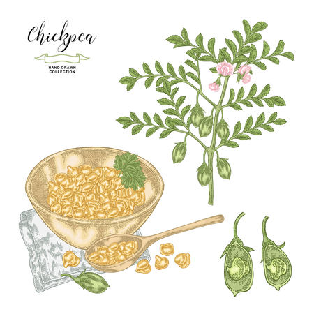 Chickpea plant isolated on white background. Chickpea pods and seeds with wooden spoon and bowl. Hand drawn legumes. Vector illustration.