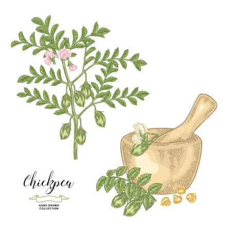 Chickpea plant isolated on white background. Chickpea pods and seeds with wooden bowl. Hand drawn legumes. Vector illustration. Ilustração