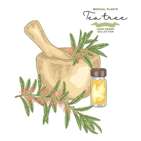 Tea tree flowers and leaves.Melaleuca essential oil. Medical herbs set. Vector illustration hand drawn.