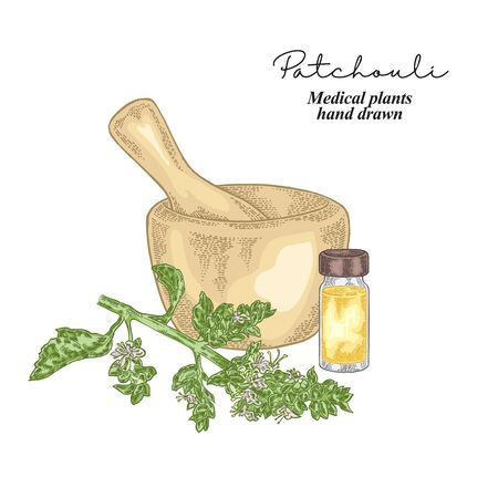 Patchouli branch isolated on white background. Medical herbs set. Vector illustration hand drawn. Vectores