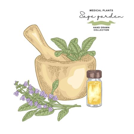 Sage garden branch. Salvia essential oil. Medical plants set. Vector illustration hand drawn.