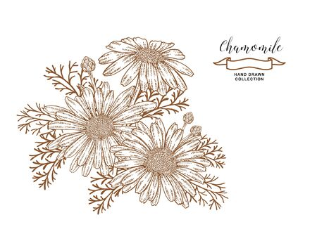 Chamomile flowers and leaves. Medical herbs. Hand drawn vector illustration
