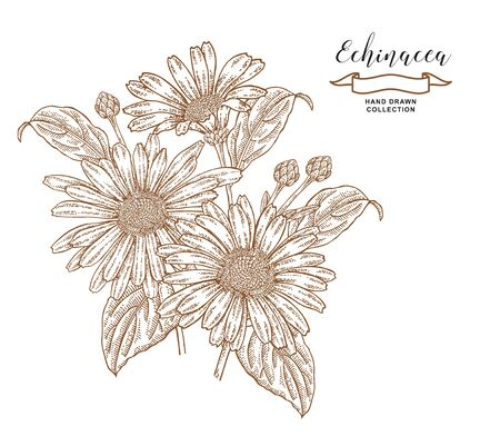Echinacea  flowers and leaves. Medical herbs set. Hand drawn vector illustration. Ilustração