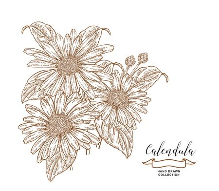 Calendula flowers and leaves. Medical herbs set. Hand drawn vector illustration.