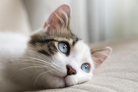 藍眼睛的貓 版權商用圖片