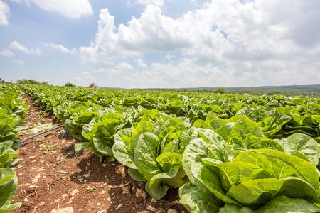 The Field Perfect Green Produce Leaf Lettuce Archivio Fotografico
