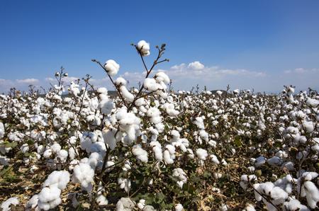 Agricultura de campo de algodón, vida natural orgánica fresca