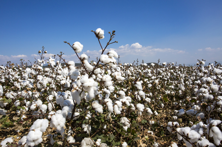 Cotton field agriculture, fresh organic naturel life