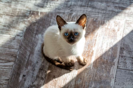 Pet animal; siamese kitten