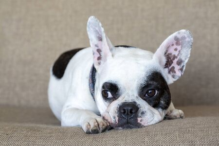 Pet animal; French bulldog indoor Stockfoto