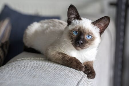 Cute kitten siamese cat indoor