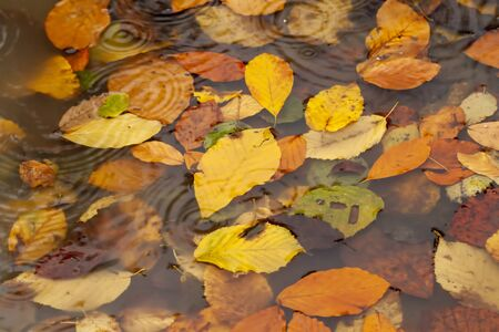 Yellowed leaves in puddle and raindrops. Autumn concept photo.