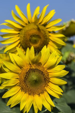 Sunflower field, Trakya / Turkey. Nature agriculture view. 스톡 콘텐츠