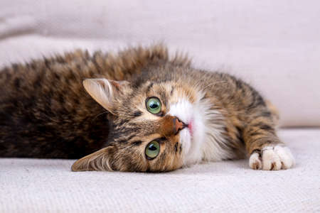 Long hair tabby cat