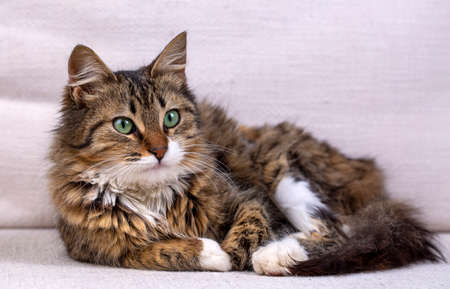 Pet animal; cute cat, long hair cat