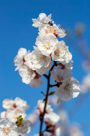 Apricot tree on the apricot flower, spring time. 免版税图像