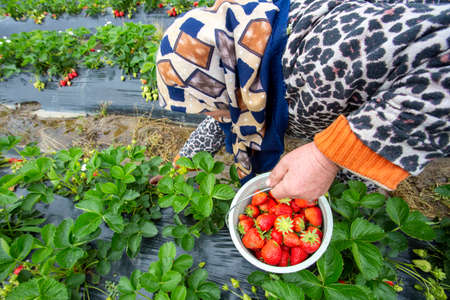 Emiralem strawberry fields, agricultural worker working in the field Stockfoto