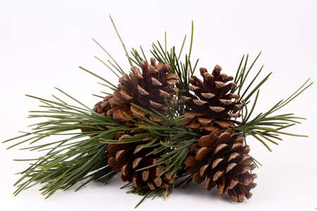 Brown pine cone isolated on white background