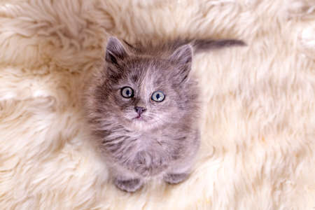 Pet animal; cute kitten gray cat indoor