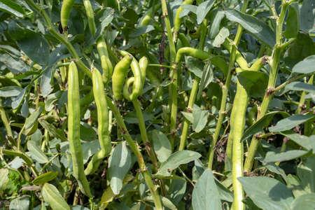 Vicia faba, also known as the broad bean, fava bean or tic bean.