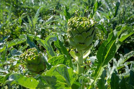 Artichoke field. Artichoke plant growing in vegetable garden. Urla / Izmir / Turkey