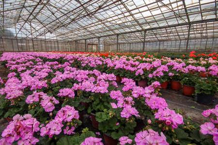 Geranium flowers in garden, greenhouse. Colorful flowers.