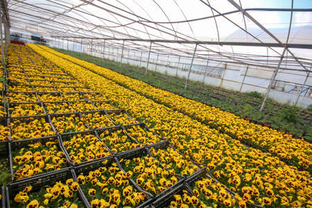 Viola tricolor flower, yellow flower in greenhouse. 스톡 콘텐츠