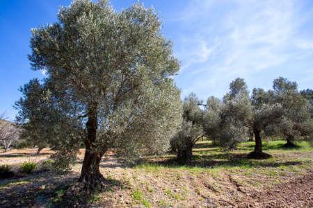 Green olive tree. Urla / Izmir / Turkey. Agriculture concept photo.