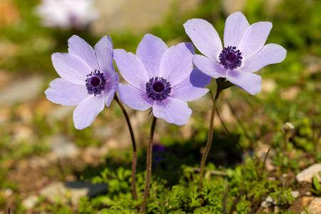 Spring season; wild flower; Anemone (Anemone coronaria)