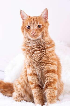 Pet animal; cute cat indoor. Yellow cat. Archivio Fotografico
