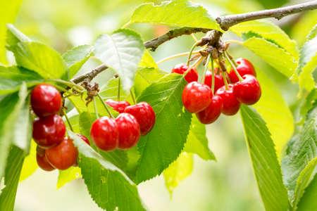 Cluster of ripe cherries on cherry tree Stockfoto