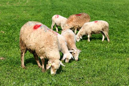White sheep in farm, Portrait of a cute lamb