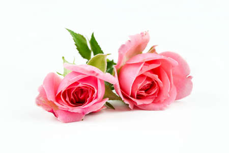 Pink rose on the white background. Concept photo. Banco de Imagens