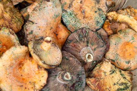 Pine trees mushrooms (Lactarius deliciosus) (Cintar mushroom)