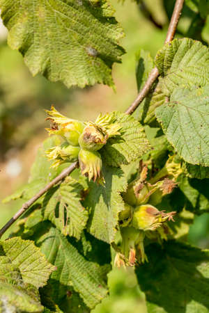 Fresh green hazelnuts are growing on the tree, Turkey / Ordu