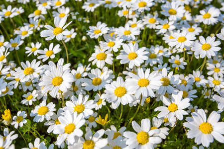 The hill with camomiles a summer joyful landscape. White daisy field. Imagens