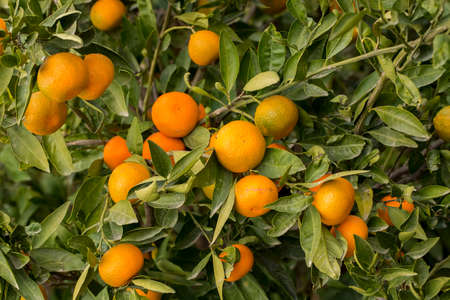 Tangerine tree, Ripe juicy sweet tangerine in the garden with selective focus 免版税图像