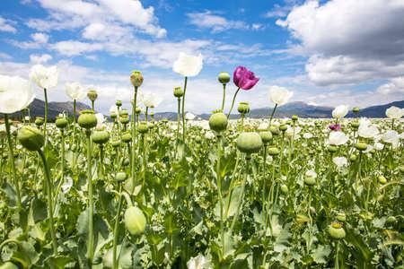 Opium Poppy Field (Turkey / Denizli) agriculture view. Foto de archivo