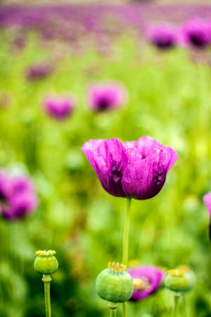 Opium poppy field agriculture. Natural floral flower.