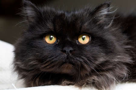 Black Persian Cat Stockfoto