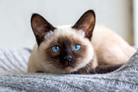 Cute siamese kitten