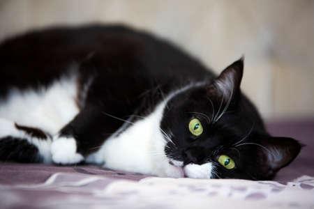 Pet animal; cute cat, tuxedo cat indoor Foto de archivo
