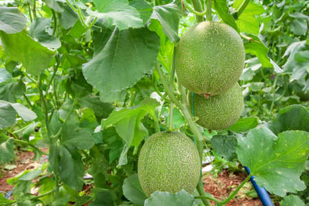 Melon or cantaloupe melons growing in supported by string melon nets, The yellow melon with leaves and sunlight in the farm waiting for harvest. Zdjęcie Seryjne