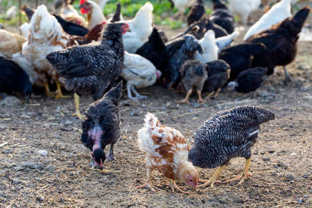 Hens and rooster in the home henhouse
