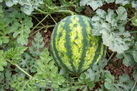 Fresh organic watermelon field. Agriculture concept photo. Reklamní fotografie
