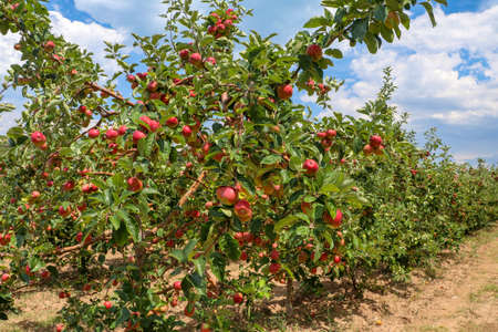 Fresh apple tree in garden, Isparta / Turkey Stock fotó