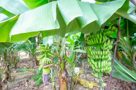 Banana tree Imagens