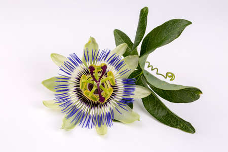 Passiflora plant flower on the white background