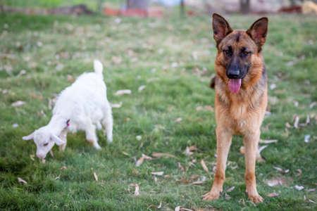 German wolf dog in the garden Stockfoto