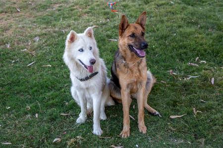 Siberian Shepherd and German Wolfhound